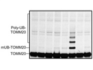 Immunoblotting of Tom20 for Mitochondria Loading Control