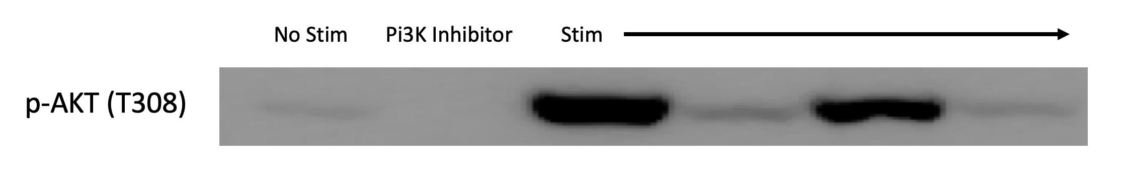 Reliable Antibody to Detect PI3K Activity