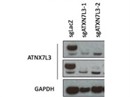 Good ATNX7L3 Antibody from Abcam