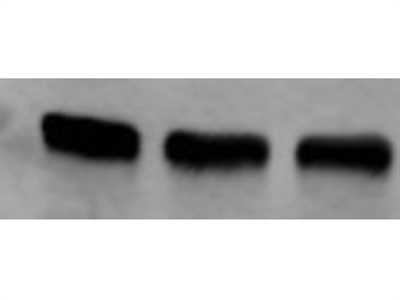 Great and Easy-to-Use Antibody for Alpha Tubulin