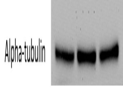 Great Alpha Tubulin Antibody for Loading Control