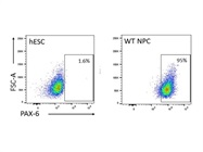 PAX6 Antibody for Flow Cytometry as a Neural Progenitor Cell Marker