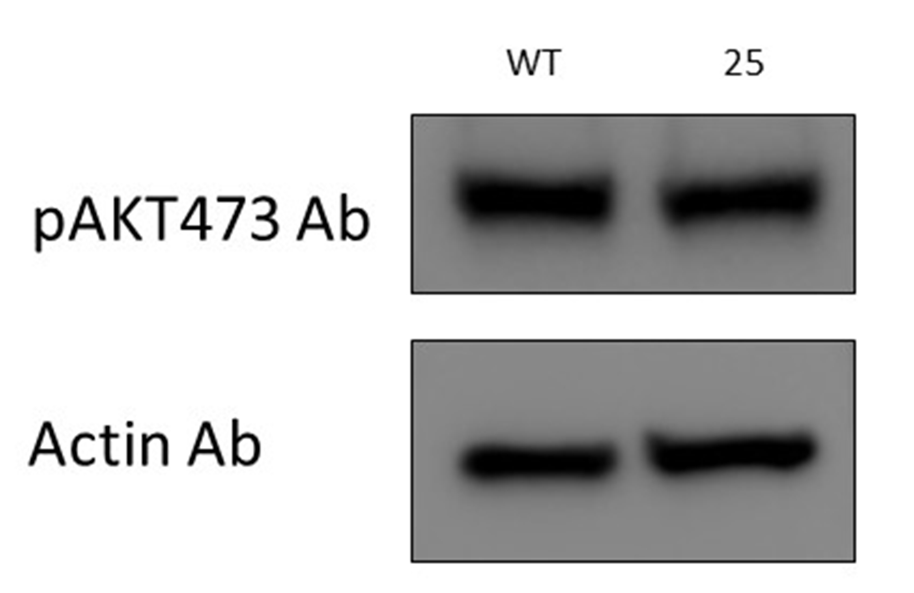 Good Antibody for pAKT473 from CST