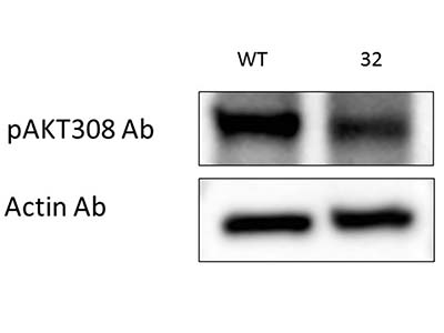 Good Antibody for pAKT308 from CST