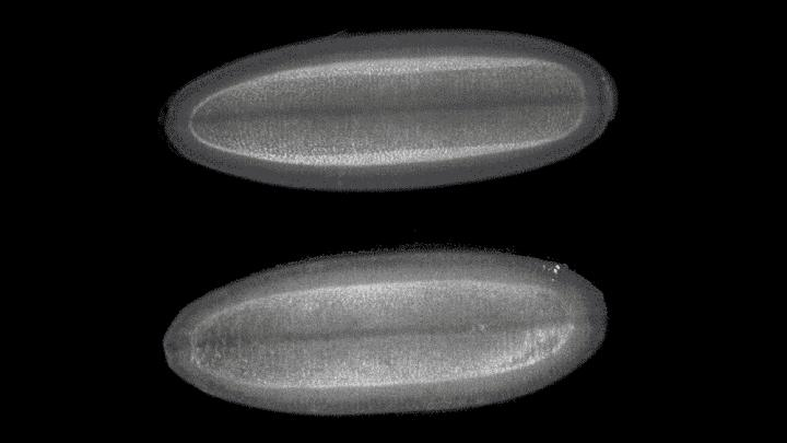 Tight Control of Nucleotide Levels Integral to Embryonic