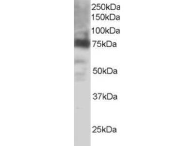 COX-2 Antibody