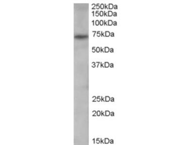 PAD4 Antibody