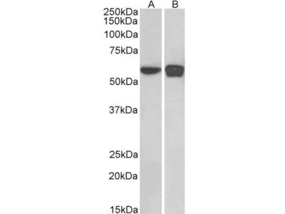 PLRG1 Antibody