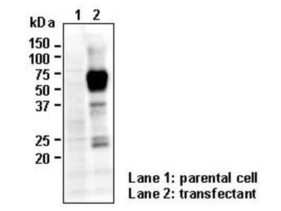 Anti-SLC40A1 (FPN1) (Human) pAb