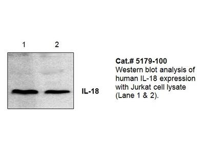 IL-18 Antibody