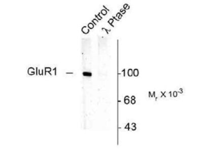 GluR1 [p Ser831] Antibody
