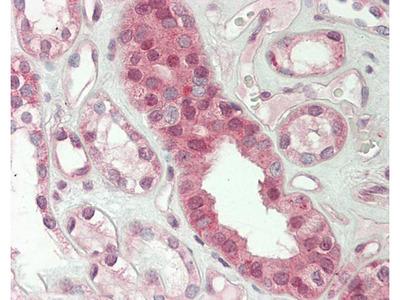 Anti-GPR152 Antibody (aa10-59) IHC-plus