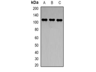 Anti-CD288 Antibody