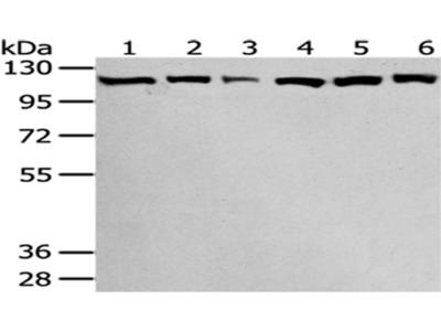 SND1 Antibody