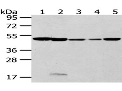 CYP20A1 Antibody