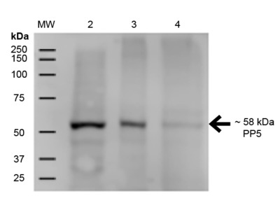 Mouse Anti-Human PP5 Monoclonal IgG1