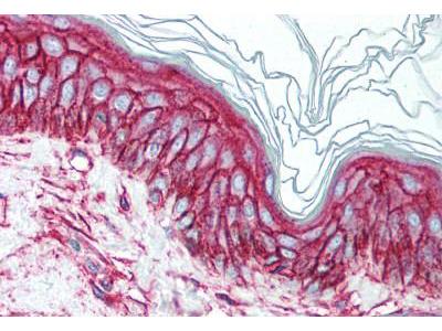 Mouse Anti-CD9 Antibody