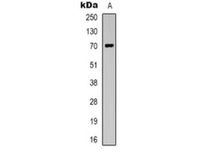 Anti-Taurine Transporter Antibody