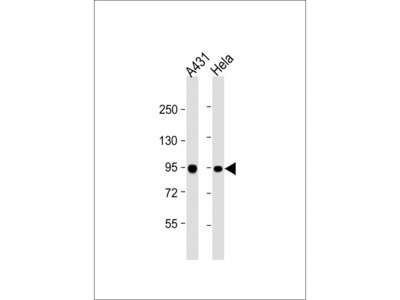 HSPCB Antibody (Center)