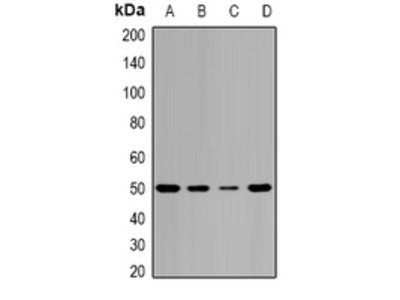 Anti-Pontin 52 Antibody