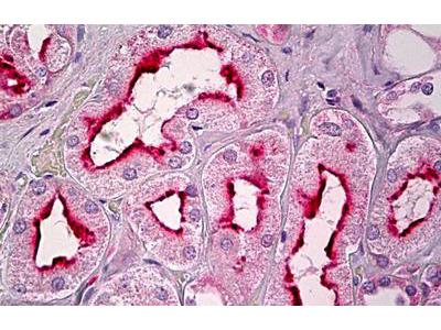 Rabbit Anti-GPCR6 / GPR101 Antibody