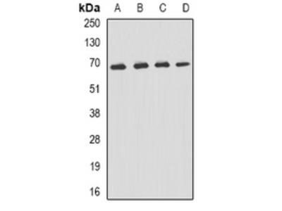 Anti-p62 Antibody