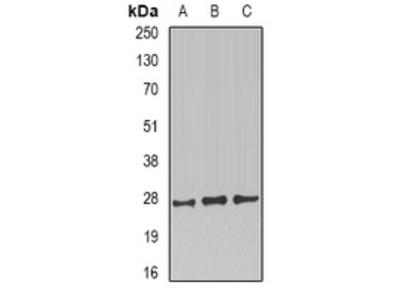 Anti-CD230 Antibody