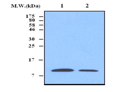 MOUSE ANTI THIOREDOXIN