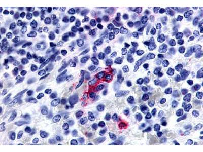 Rabbit Anti-P2Y13 / P2RY13 Antibody