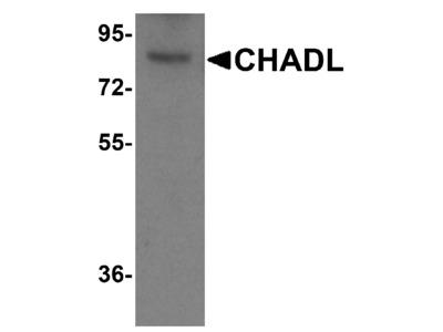 CHADL Antibody