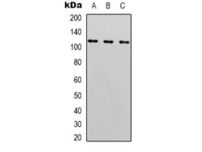 Anti-Peroxiredoxin 1 Antibody