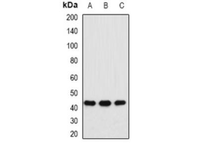 Anti-MAT1A Antibody