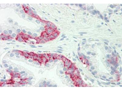 Rabbit Anti-GJC1 / CX45 / Connexin 45 Antibody