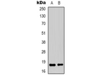 Anti-TCEAL1 Antibody