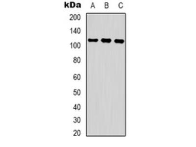 Anti-COP1 (pS387) Antibody