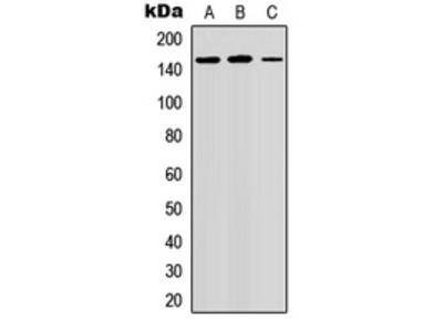 Anti-GPR158 Antibody