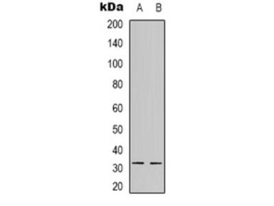 Anti-NFYB Antibody