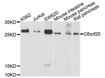 C6orf25 Polyclonal Antibody