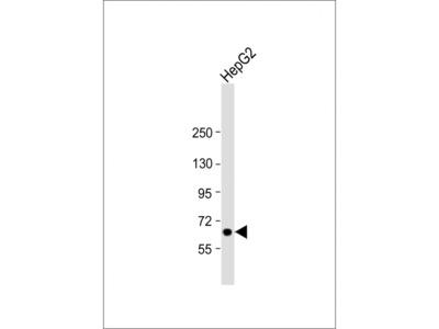 LSR Antibody (N-Term)