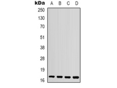 Anti-CCL4L1 Antibody