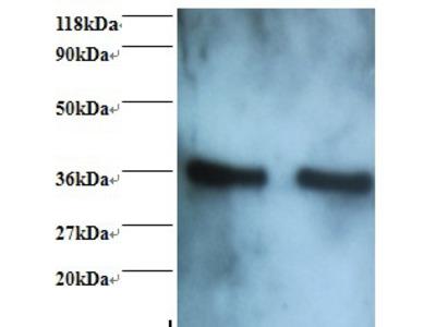 Annexin A5 Polyclonal Antibody