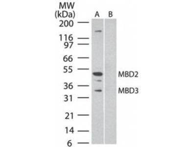 MBD3 (Methyl CpG Binding Protein 3)