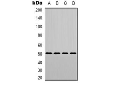 Anti-CHRNA9 Antibody