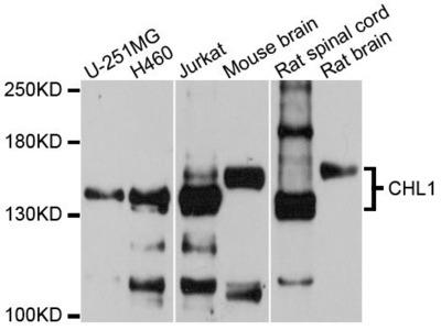 CHL1 Polyclonal Antibody