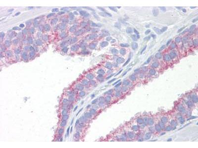 Mouse Anti-KRT18 / CK18 / Cytokeratin 18 Antibody