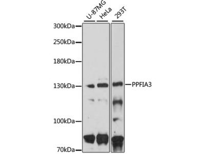 PPFIA3 Polyclonal Antibody