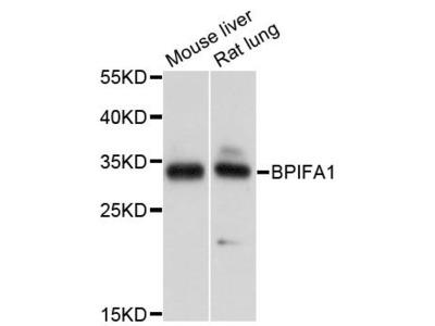 BPIFA1 Polyclonal Antibody