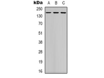 Anti-DAP Kinase 1 Antibody