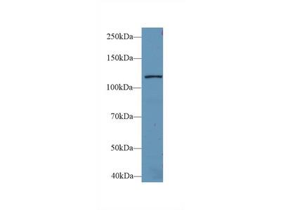 Rabbit Anti-Leucyl tRNA Synthetase Antibody