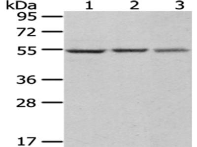 DARS Antibody
